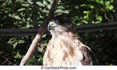 eagle - close up of Eagles head