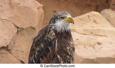 Eagle - Close-up view