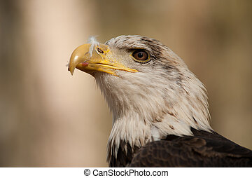 Eagle watching - Bald Eagle (Haliaeetus leucocephalus)...