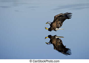 Eagle with Clear Reflection