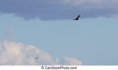 Eagle with other eagles on sky shot