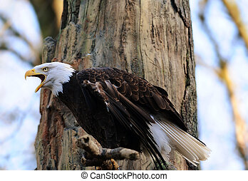 American bald eagle perched on tree calling for mating