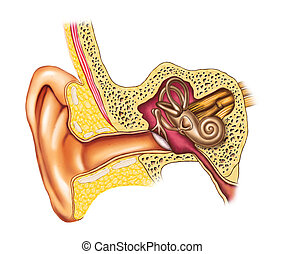 Ear anatomy - Illustration showing the interiors of an human...