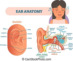 Ear anatomy medical vector illustration with outer, middle and inner ear cross section diagrams. Educational poster.