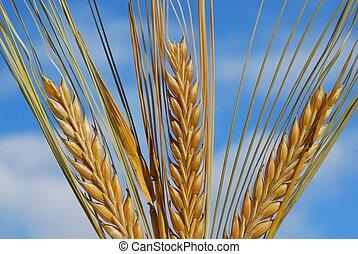 Ear of barley