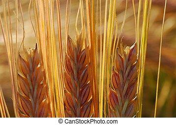 Ear of barley straws soon ready for the harvest