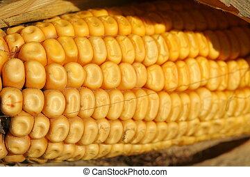ear of corn close-up