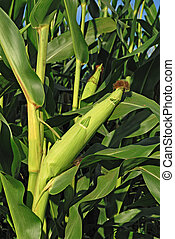 Close up of ear of corn in field