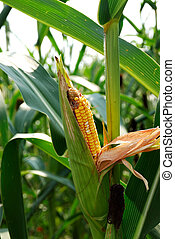 Ear of Corn on the Stalk