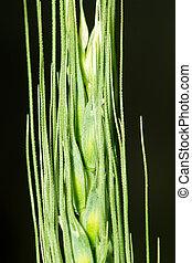 ear of green wheat. macro