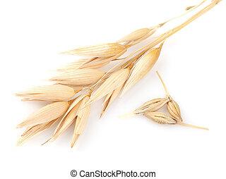 Ear of oats in closeup