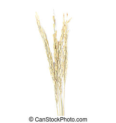 Ear of paddy on white background.