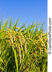 Ear of rice and the blue sky