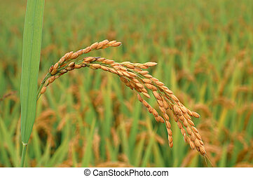 Ear of rice in autumn