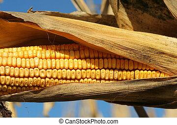 ear of ripe corn in husk