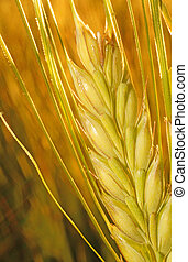 Ear of rye on the field in the rays of the sun closeup