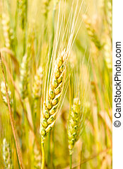 Ear of wheat, close-up