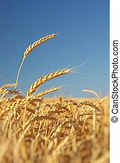 Ear of wheat.