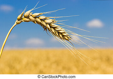 Ear of wheat - Ear of ripe wheat closeup on a background of ...