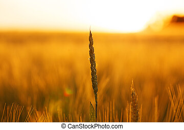 Ear of wheat in a field