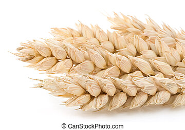 ear of wheat isolated on white