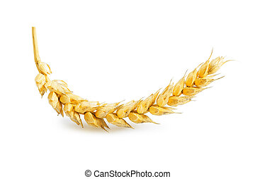 ear of wheat isolated