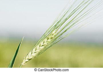 Ear of wheat macro in spring.