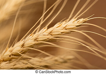 ear of wheat. macro