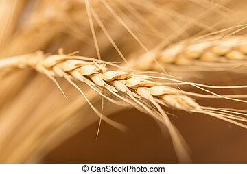 ear of wheat. macro
