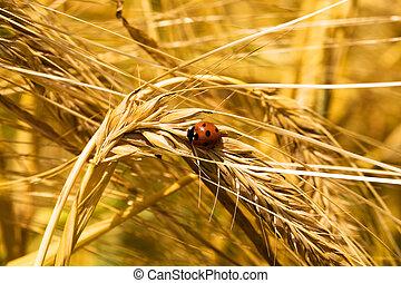 ear of wheat (macro)