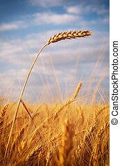 Ear of wheat