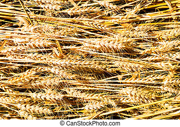 Ear of Wheat Photo with Nature Background