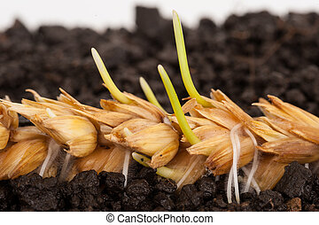Ear of wheat sprouting. Macro