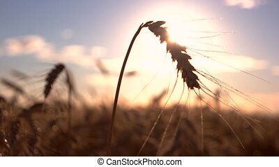 Ear on bright sun background. Stems move in the wind. Build...