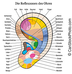 Ear reflexology chart with accurate description of the corresponding internal organs and body parts. German Labeling! Isolated vector illustration over white background.