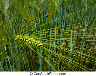Ear wheat or barley in a field with crops, agricultural organic food growing in the countryside