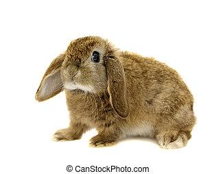 eared kaninchen stutzen, auf, a, weißer hintergrund, (not,...