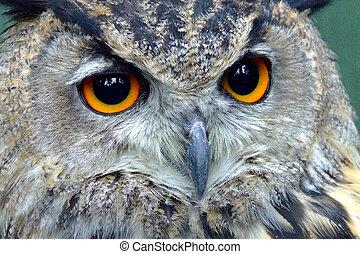 Eared Owl Portrait