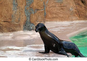 Eared seal