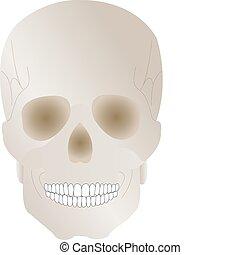earl, cráneo, halloween, ilustración, vector, humano,...