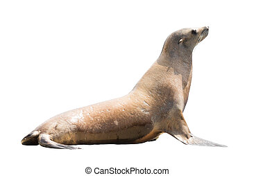 Earless seal (family Otariidae). Isolated over white...