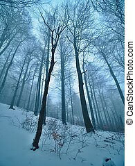 Early cold and misty morning at hoarfrost beech trees in snowy winter forest. At mountain peak,