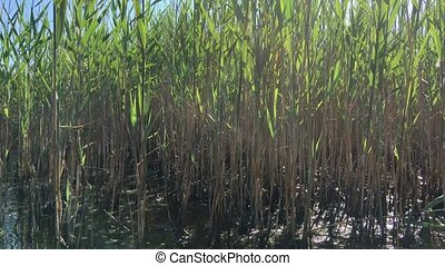 early in the morning in the middle of the reeds