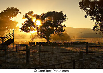 Early Morning Cattle - sunrise coming through the trees at...