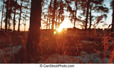 Early morning dry grass with sunrise in pine forest....