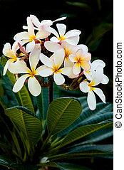 Frangipani - Early morning image of white and yellow ...