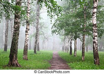 Early morning in mist birch grove