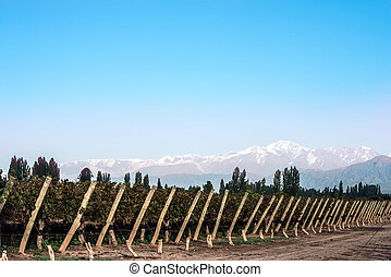 Early morning in the vineyards. Volcano Aconcagua Cordillera. Andes mountain range, in Maipu, Argentine province of Mendoza