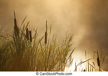 Typha latifolia against the sunrise mist