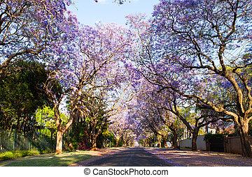 Early morning street scene of jacaranda trees in bloom